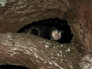 Opossum in a tree in my mother's yard. (Photo Sandy Thurlow.)