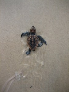 Loggerhead hatchling heads to sea. (Photo NSW National Parks and Wildlife Service website.)