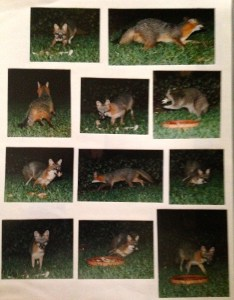 "Foxes and raccoons that came to food put out. In the 70s we did not know how ""bad"" this is to do as the animals become dependent and may learn not to fear humans as they should. This practice was stopped but enjoyed while it lasted!"