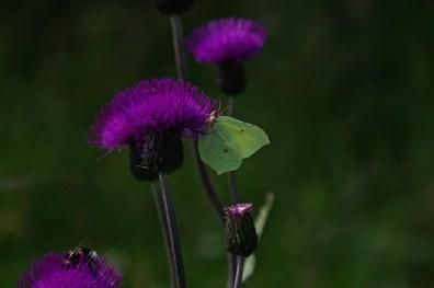 """Przydomek """"cytrynowy"""" pochodzi nie tylko od kolory skrzydeł ale również od ich zapachu, lekko cytrynowego. Dlatego latolistek jest często brany przez inne owady za pełen powabu płatek słodkiego rajskiego kwiatu."""