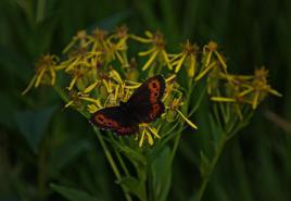 Wieczorem po zachodzie słońca motyl prezentował się w całej okazałości na tle żółtych kwiatów. O ile w ciągu dnia tylko na chwilę sie zatrzymywał, to wieczorem prawie nie zmieniał miejsca swego pobytu. Cały czas prezentując piękne kolorowe skrzydła. Więcej o karkonoskich motylach można poczytać na stronie: http://www.kpnmab.pl/pl/2015-motyle-karkonoszy,422
