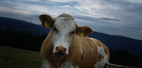 Od kilku lat wysoko w Karkonoszach wypasane jest bydło. Przy Morawskiej Boudzie można spotkać krowy tylko w lecie. Są one tutaj przywożone miedzy innymi z okolic Trutnowa, a to dlatego, że właściciele tutejszych łąk w ten sposób mogą dostać dofinansowanie z UE. Dzięki temu powoli odradza się stara karkonoska tradycja.