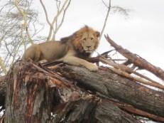 Simba! Wahoo-we saw a tree-climbing lion.