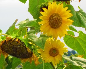 Sunflowers on one of my rambles in the Kericho countryside