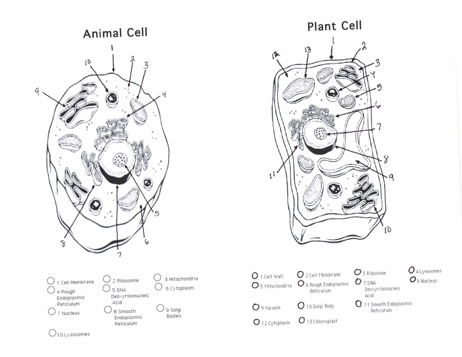 Animal Cell Structure Worksheet Template Library