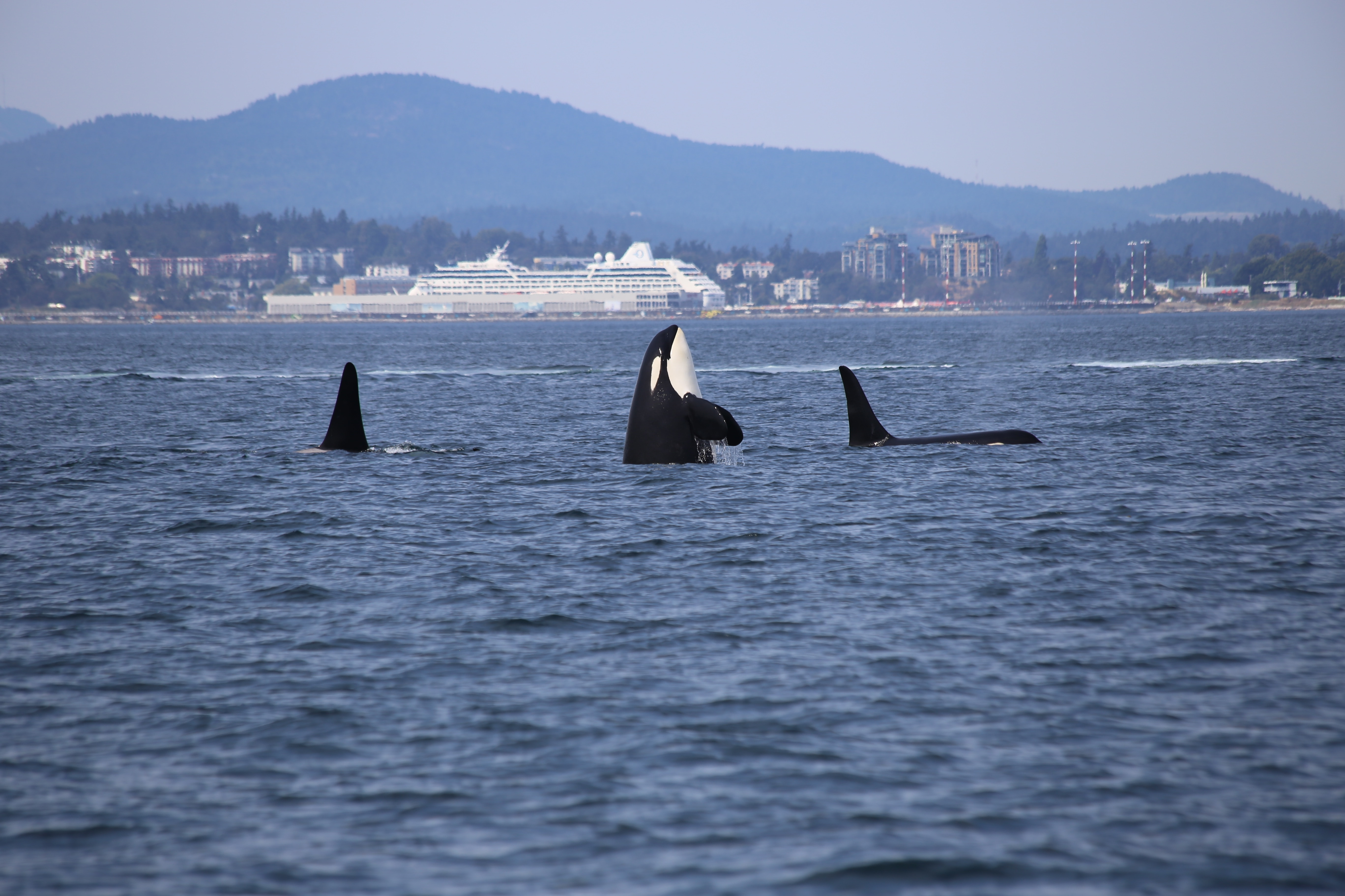 Cheap flights to Canada, cheap flights to Vancouver, orcas in canada
