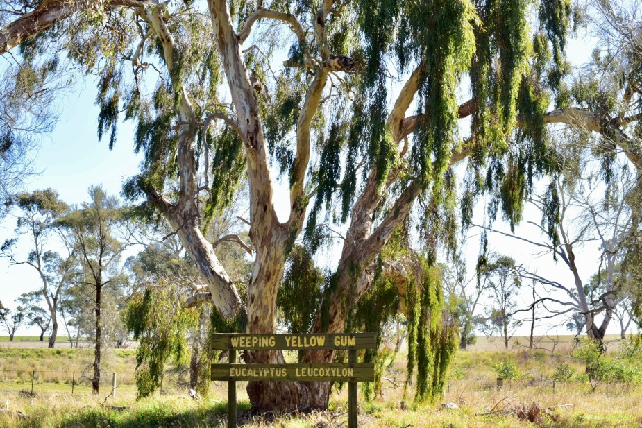 Weeping Yellow Gum tree near Nhill, Victoria. Image by Jade Jackson.