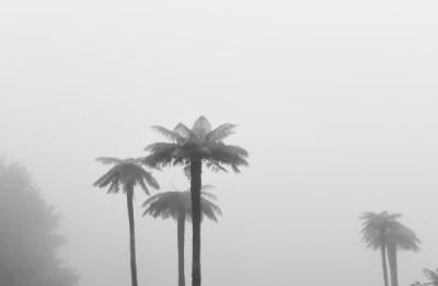 tree ferns in fog by Jade Jackson