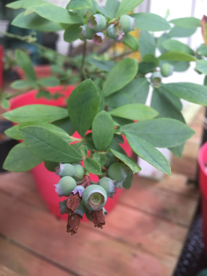 It's a dwarf blueberry bush, but still produces lots of berries!