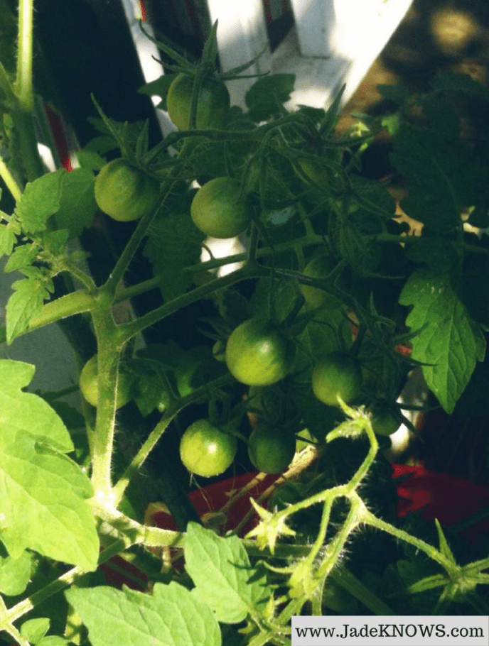 Close-up of unripe, green-colored Black Vernissage tomatoes.