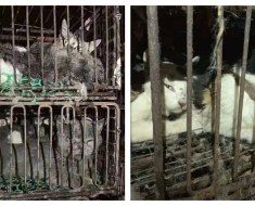 620 Cats, Many Wearing Collars, Rescued From Truck Headed To Slaughterhouse In China