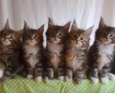 Les chatons assis en ligne bougent de manière synchronisée sur la musique – celui de gauche est un coquin