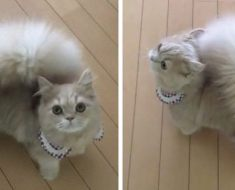 Voici une chatte Napoléon qui se distingue par sa queue douce et épaisse qui ressemble à celle d'un écureuil