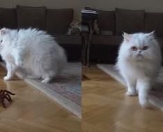 Ce chat réagit d'une manière amusante et inattendue en voyant cette araignée