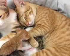 Ce papa chat ne quitte plus sa compagne qui allaite sa portée !