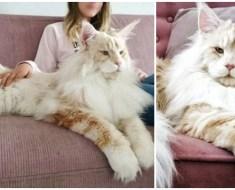 Voici Lotus, le chat suédois géant Lotus qui fait fondre les cœurs dans le monde entier