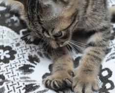 Pourquoi le chat vous pétrit-il les genoux avec ses pattes de devant ?