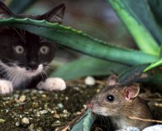 Pourquoi le chat joue-t-il parfois avec sa proie avant de la tuer ?