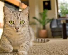 Pourquoi mon chat urine partout?