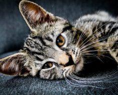 Pourquoi mon chat à la peau sèche? Solutions pour y remédier.