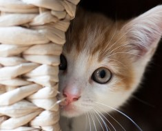 5 choses que vous pouvez faire pour protéger votre chat contre la maladie thyroïdienne
