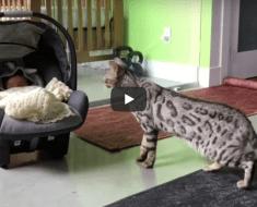 Le chat du Bengale rencontre son nouveau petit frère
