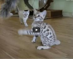 Ce chaton est un vrai boxeur, absolument adorable et drôle