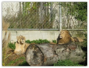 Lions In Lyon's Zoo