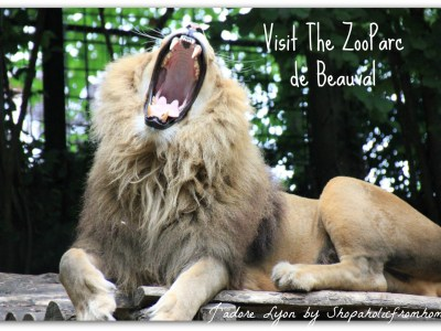 The Lions of The ZooParc de Beauval