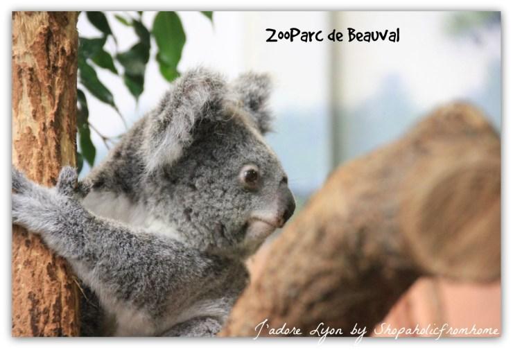 ZooParc de Beauval Koala
