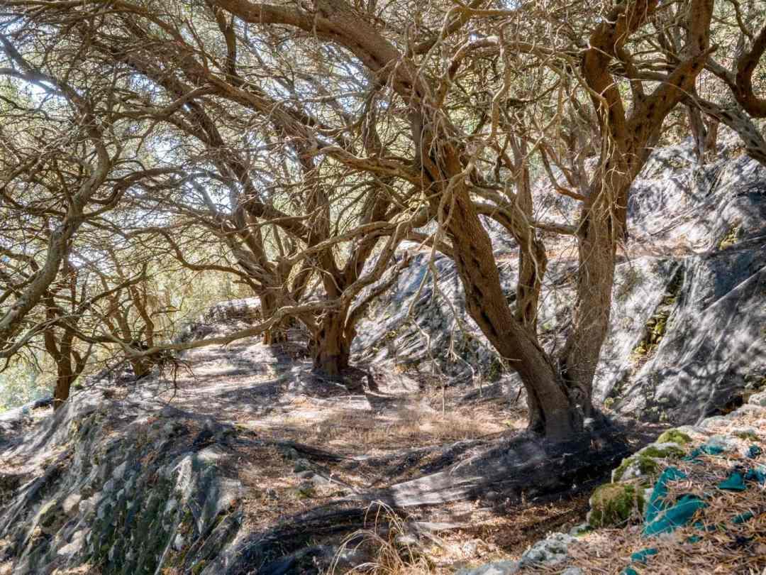 Drzewa oliwne w drodze na Angelokastro