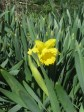 Merry Daffodil