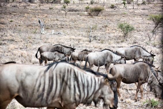 Im Kruger Park gibt es ungefähr 17.000 Streifengnus
