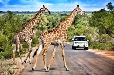 Ein paar Giraffen überqueren die Straße - achte auch auf den Rücken des vorderen Giraffes