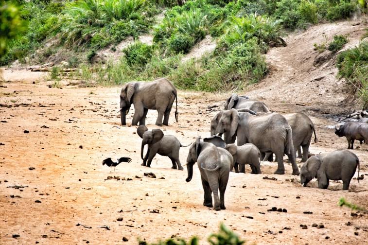 Ein tolles Moment: eine Herde Elefanten versammelte sich während daneben fünf Löwen die Sonne genossen.