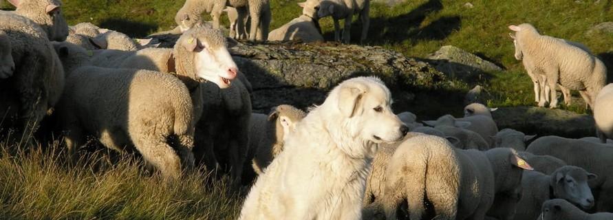 Herdenschutz oder was tun wenn der Wolf kommt… via @treierp