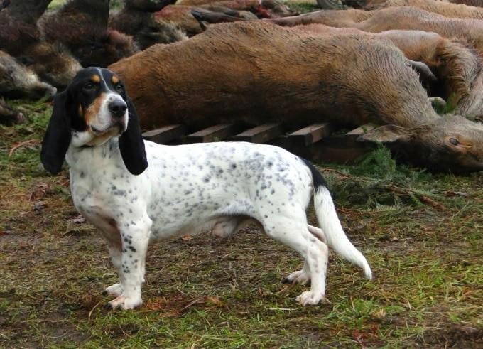 Jagdhunde: Niederlaufhund via @treierp