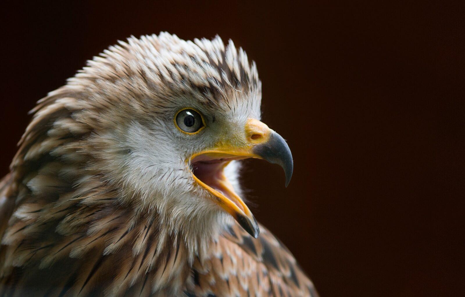 Vögel: Der Rotmilan via @treierp