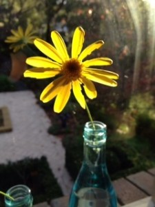 Daisy in Window