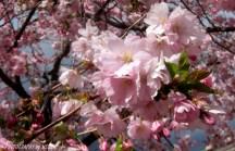 Körsbärsblom nära
