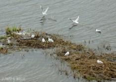 Gott om grästuvor en bit ut i vattnet för fågarna att så småningom bygga sina bon.