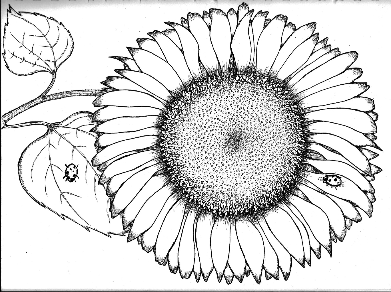 Sunflower coloring page | Free Printable Coloring Pages | 1024x1369
