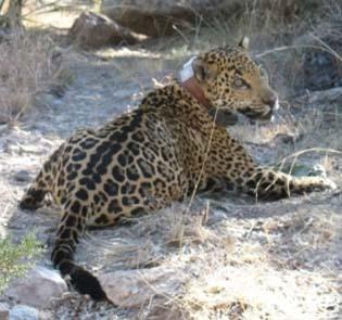 jaguar_photo2crop
