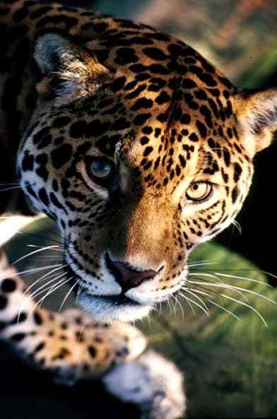 jaguar_free pic3