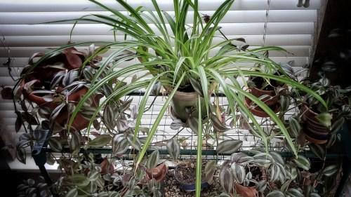 Spider Plant and Purple Zebrina