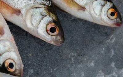 Fish Heads, Fish Heads