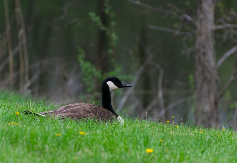 goose in grass
