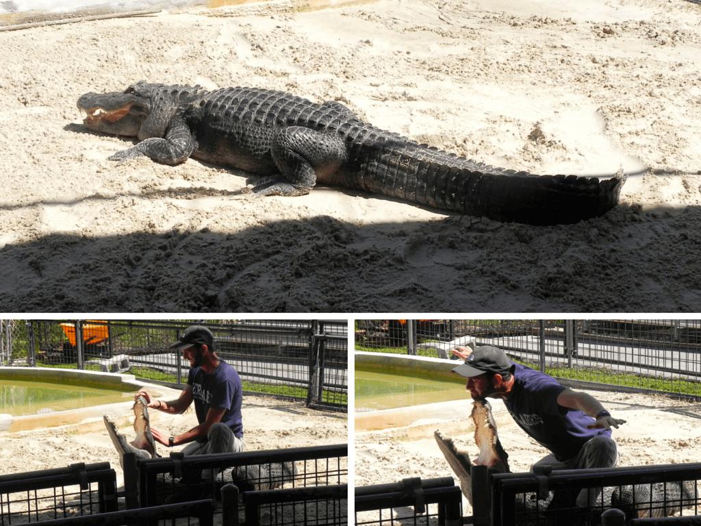 Alligators-miami