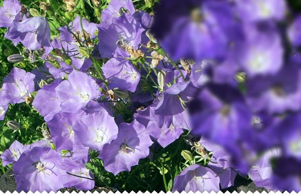 campanule vivace semer planter