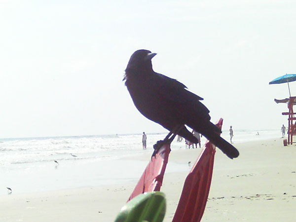 My beach crow muse stalking me from a beach chair